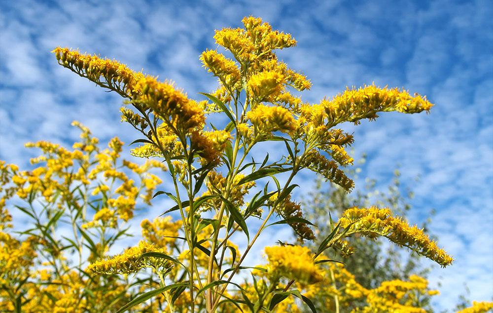 karcsúsító gyógynövények mellékhatásai