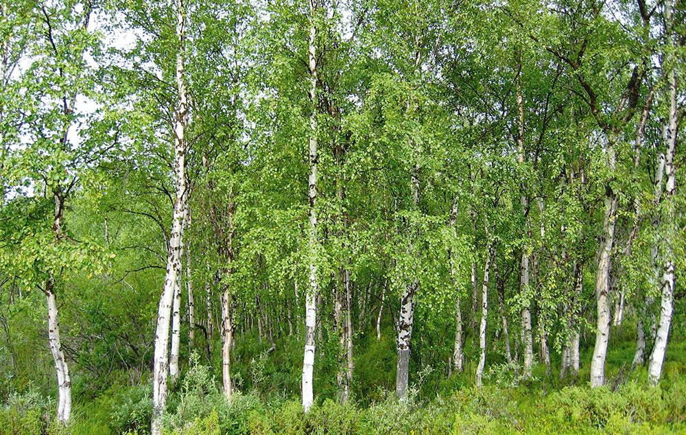 nyírfa levelek közös kezelésre
