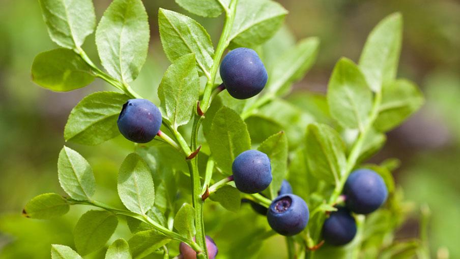 Fekete áfonya – gyümölcse és levele is hasznos