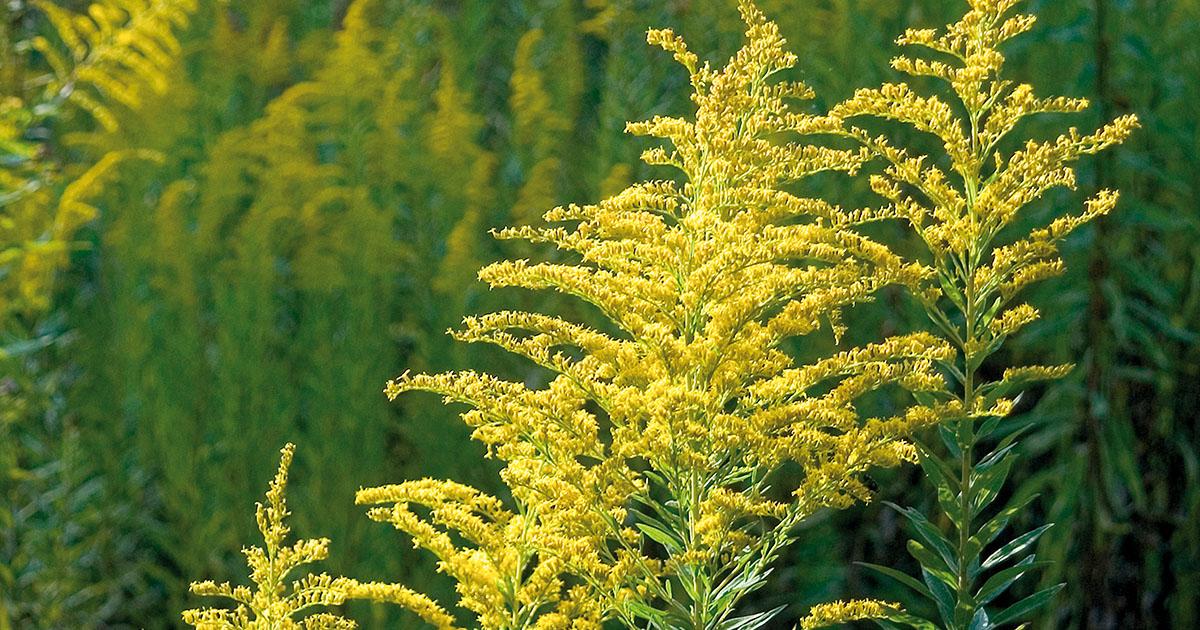 Természetes potencianövelő gyógynövények